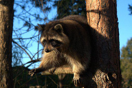 Raccoon, Tree, Fur, Cute, Wild, Forest, Furry, Animal