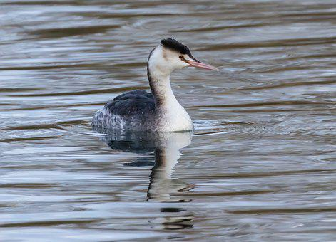 Great Crested Grebe, Winter Plumage, Grebe, Swimming
