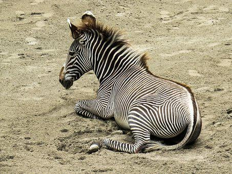 Animal World, Zebra, Young Animal, Stripes, Africa