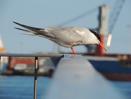 Bird, Azores, Portugal, Island, Nature, Mar, Portuguesa