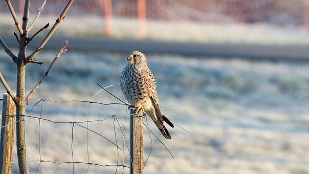 Falcon, Bird, Raptor, Bird Of Prey, Animal Portrait