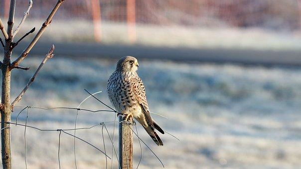 Falcon, Bird, Raptor, Plumage, Bird Of Prey