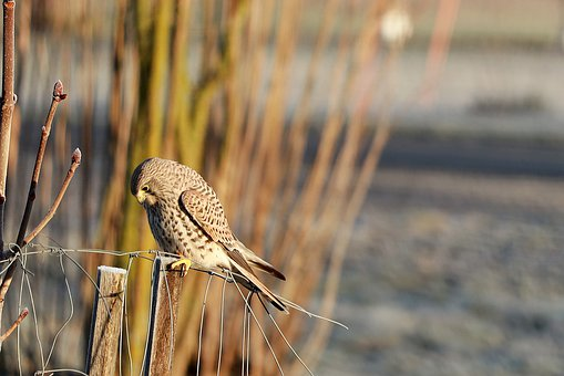 Falcon, Bird, Raptor, Wild Animal, Bird Of Prey