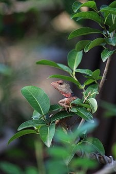 Chameleon, Nature, India, Creature, Nursery, Wildlife
