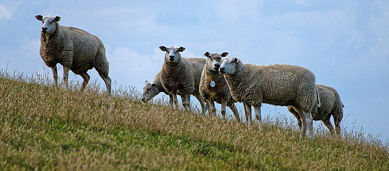 Sheep, Dike, Flock, Flock Of Sheep, Domestic Sheep