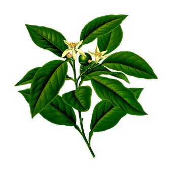 Asia, Branch, Citrus, Evergreen