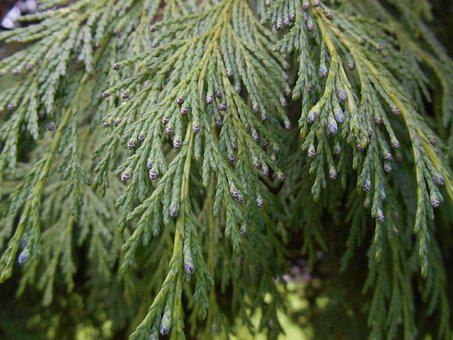 Pine, Branches, Outbreaks, Branch, Tree, Forest, Fir