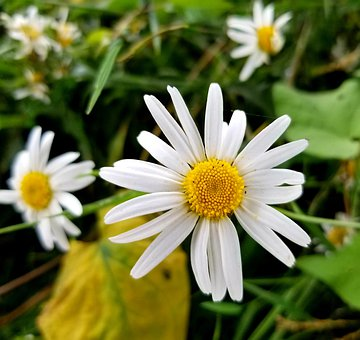 Daisy, Flowers, Nature, Bloom, Blossom, Flora, Floral