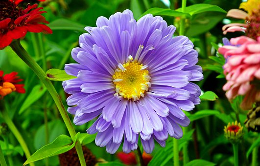 Aster, Flower, Plant, Garden, Macro, Summer, The Petals