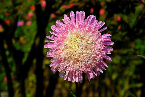 Aster, Flower, Colored, Plant, Garden, Macro, Summer