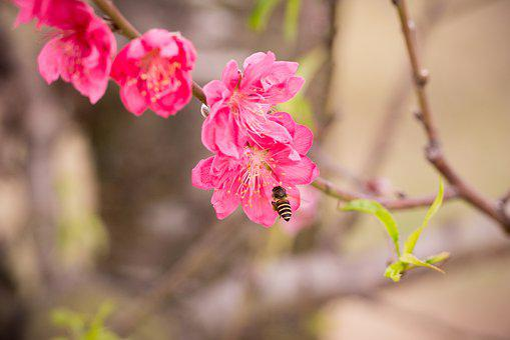 Peach, Peach Flower, Flower, Spring, Pink, Nature