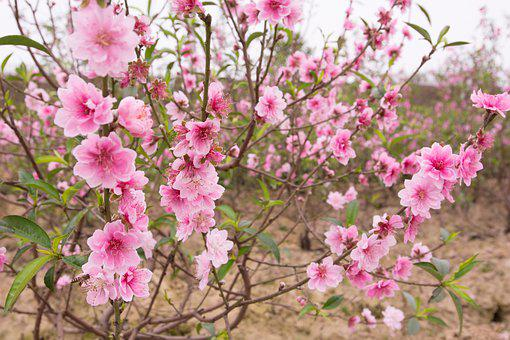 Peach, Peach Flower, Spring, Pastel, Pink, Nature