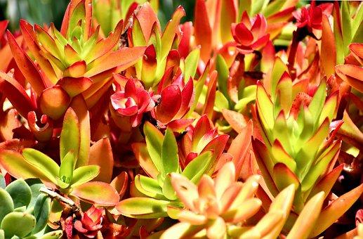 Succulent, Plant, Botanical, Flora