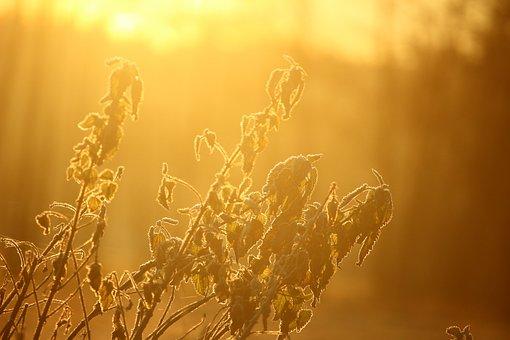 Morgenstimmung, Frost, Plant, Nettle, Brennessel, Sun