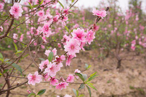 Peach, Flowers, Spring, Pastel, Nature, Pink, Plant