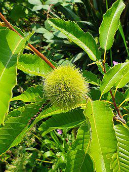 Chestnuts, Chestnut Tree, Chestnut, Prickly, Autumn