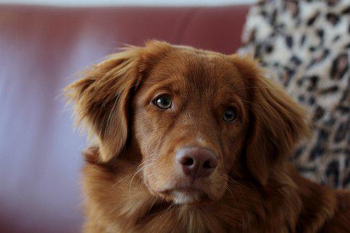 Toller, Puppy, Nova Scotia Duck Tolling Retriever