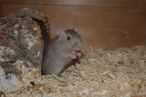 Mouse, Racing Mouse, Small, Animal, Rodent, Tail