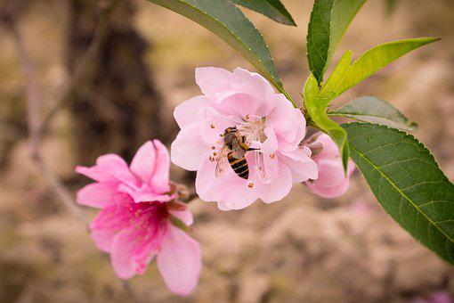 Peach, Spring, Pastel, Nature, Pink, Flowers, Plant