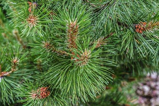 Branch, Spruce, Pine, Christmas Tree, Conifer, Needles