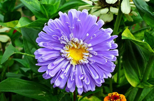 Aster, Flower, Blue, Plant, Garden, Macro, Summer