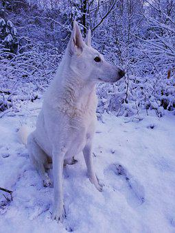 The White Shepherd Dog, Weisser Schäferhund