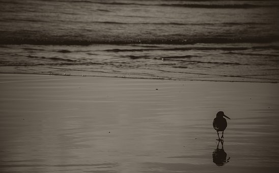 Bird, Alone, Beach, Black, White, Sea, Water, Ocean