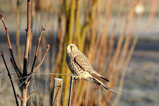 Falcon, Bird Of Prey, Wild Animal, Bird, Raptor