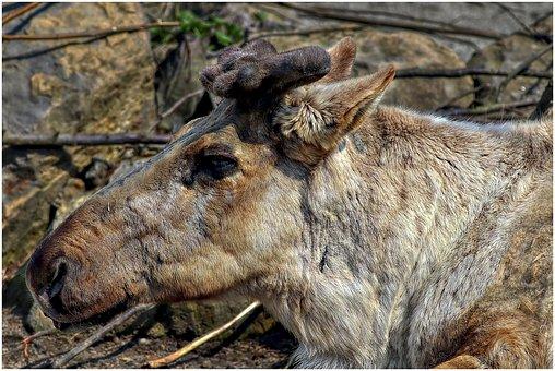 Reindeer, Fur, Antler, Wildlife Park, Animal