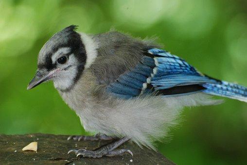 Young Blue Jay, Nature, Wild, Wildlife, Bird