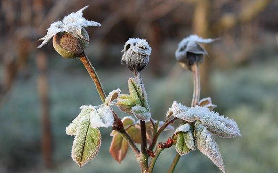 Rose, Bush, Winter, Frost, Nature, Frosty, Frozen