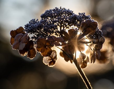 Plate Hydrangea, Winter, Ice, Frost, Backlighting