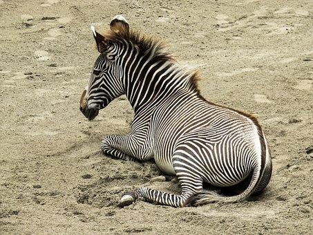 Animal World, Zebra, Young Animal, Stripes, Africa