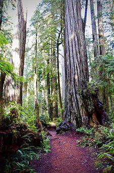 Redwoods, Trail, California, Hiking, Ancient, America