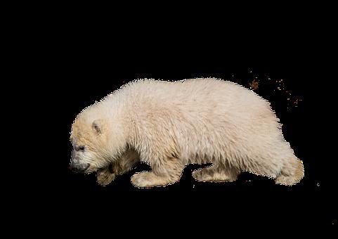 Polar Bear, Bear, Isolated, White, Animal, Nature, Snow