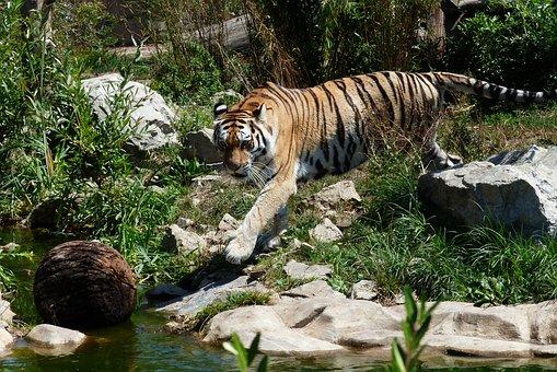 Tiger, Animal, Beast, Cat, Mammal, Feline, Predator