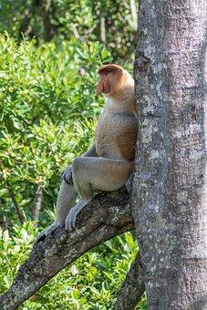 Proboscis, Money, Borneo, Primate, Malaysia, Animal