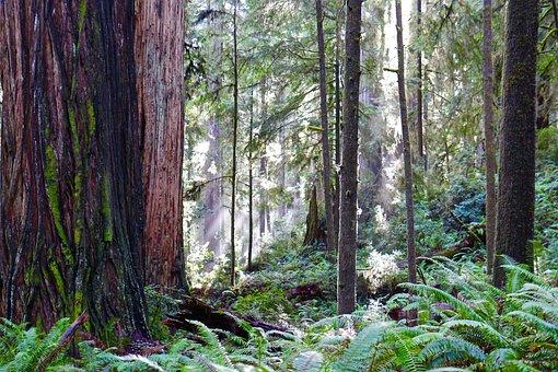Redwoods, Trail, California, Hiking, Ancient, America