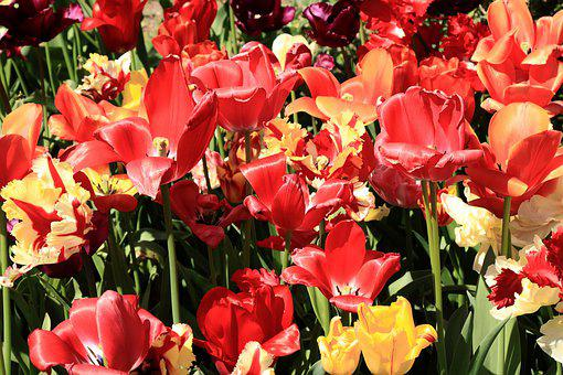 Yellow, Red, Flower, Colorful, Tulips, Flowers, Color