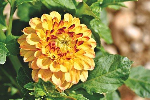 Dahlia, Dahlias Bud, Flower, Dahlia Garden
