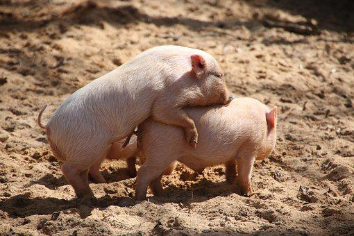 Animal World, Pig, Miniature Pig, Domestic Pig, Farm