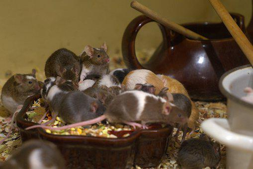 Nager, Mouse, Eat, Cute, Rodent, Fur, Food, Animal
