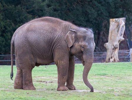 Indian Elephant, Elephants, Male Elephant