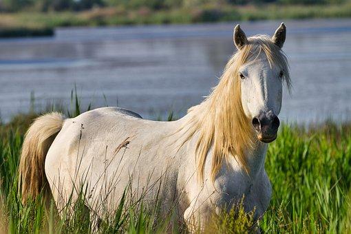 Horse, White, Equine, Animals, Equestrian, Mammals