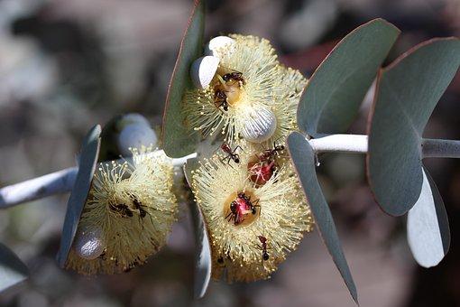 Pollination, Ants, Big, Eucalyptus, Gumtree, Yellow