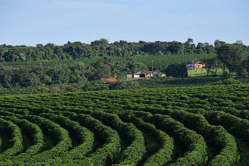 Landscape, Farm, Coffee Plantation, Agriculture