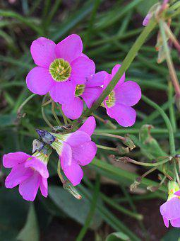 Flower, Clover, Rosa, Plant
