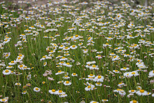 Mager Meadow, Marguerite, Flowers, Flower Meadow