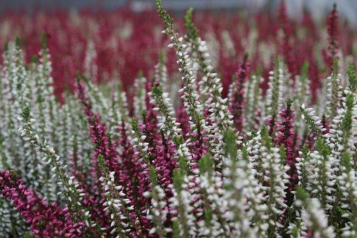 Heather, Flower, Nature, Ljungväxter, Autumn, Closeup