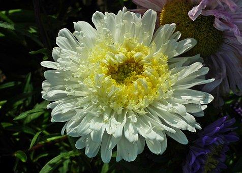 Aster, White, Nature, Flower, Garden, Blooming